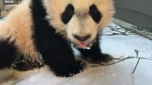 This Baby Panda Is the Best Reason to Visit Washington D.C.