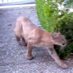 Chilling Footage Shows Mountain Lion Quietly Stalking Children Near San Francisco