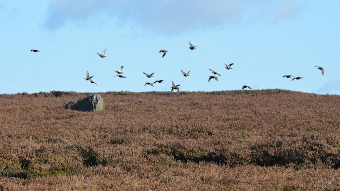 Taxpayers 'to foot bill' after Labour council ends grouse shooting on Ilkley Moor