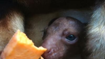 Raw: Rare Baby 'Roo Makes Its Debut in Sydney