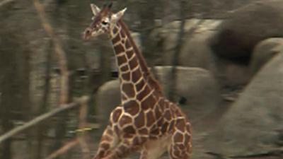 Raw: Baby Giraffe's First Chance to Romp Outside