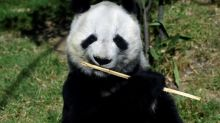 Mexico's giant pandas are Chinese in name only