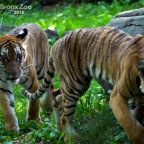 Zoo with big cat coronavirus case raises questions for pet owners