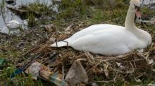 Swans build nest out of crisp packets and plastic