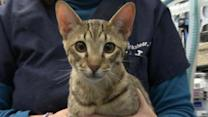 'Hypoallergenic' Cats: Real Deal or Just Hype?