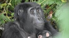 Uganda says it has rare gorilla 'baby boom' in park in country's southwest