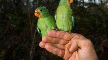 Massacre fears spark race to save rare Australia parrot