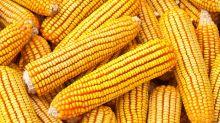 El precio del maíz trepó de 5400 a 5600 pesos por tonelada en la Bolsa de Comercio de Rosario