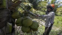 Même vides, les noix de coco ont encore de la valeur