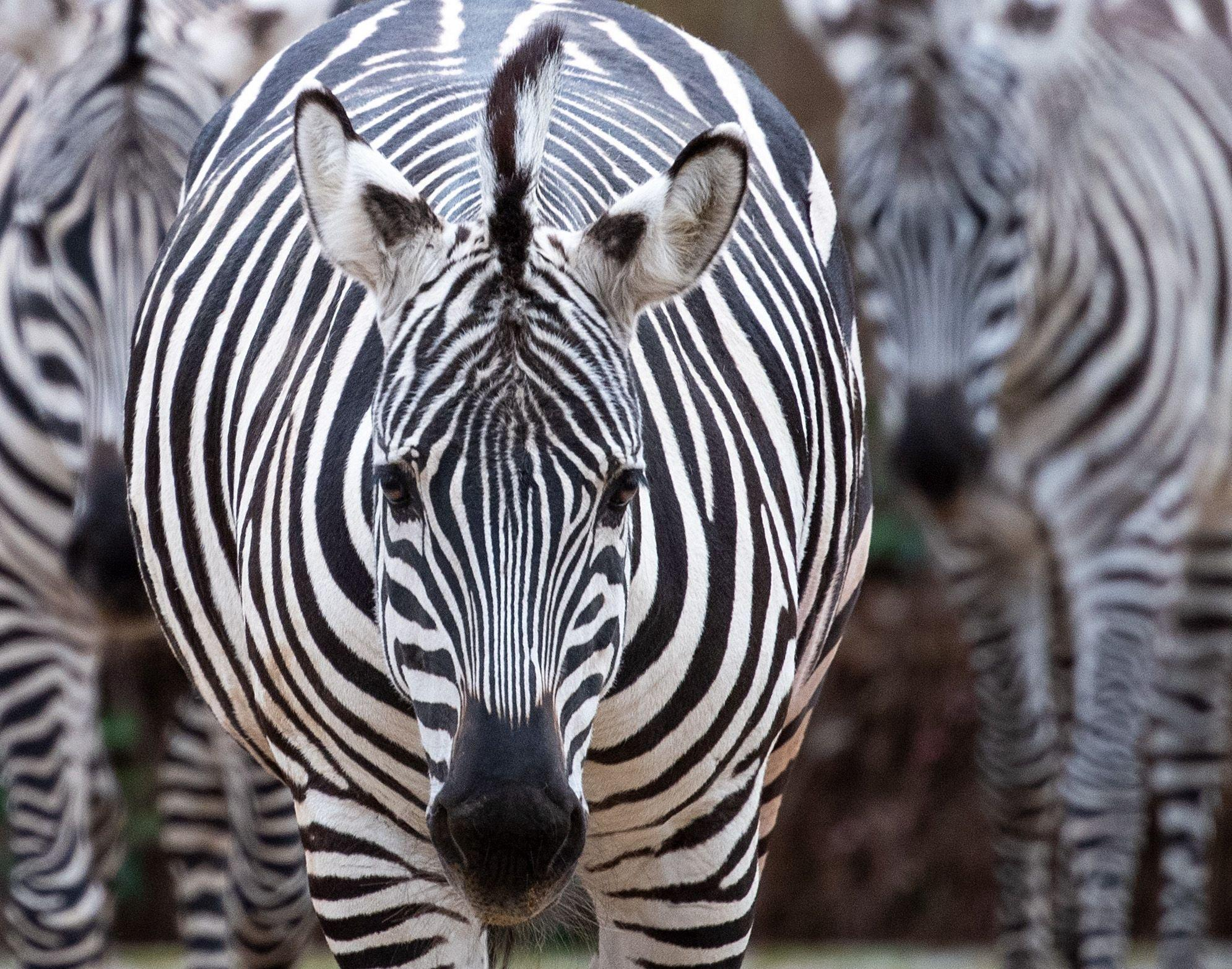 "A man has shot and killed his pet zebra after it escaped from his ranch in Callahan, a town in Florida.The animal, reportedly named Shadow, broke free from Cottonwood Ranch and ran down a main road, chased by several vehicles.Witnesses said the zebra was eventually cornered in a cul-de-sac around two miles from the ranch, where the owner shot and killed it.Bill Leeper, the local sheriff, said he understood that Shadow was injured during the escape and that the owner chose to euthanise the zebra while police officers were at the scene.Witnesses told WJXT-TV that the animal did not appear injured but the decision was made to kill it so that it could not hurt anyone.""I had to stop and think a minute,"" Jenee Watkins told the news outlet.""It's not every day you see a zebra trotting through your neighbourhood.""Officials have confirmed that the owner did not have a valid license to keep a zebra on his ranch.A state permit is required to own and keep a zebra in Florida.It is unclear whether he will face charges over the lack of permit.Officials said the investigation into the animal's escape and death was ongoing."