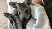 Australian carer mothers orphaned kangaroos back to health