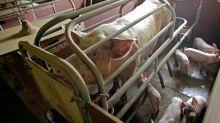 Iowa farmers await fate of California animal cruelty proposition