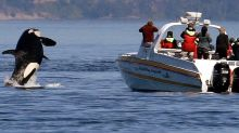 A pod of 'crazy' killer whales is launching coordinated attacks on boats, terrifying the sailors and baffling scientists