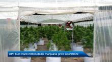 OPP bust multi-million-dollar marijuana grow operations