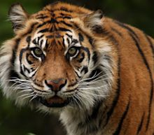Tiger Attacks Keeper in Topeka, Kansas Zoo