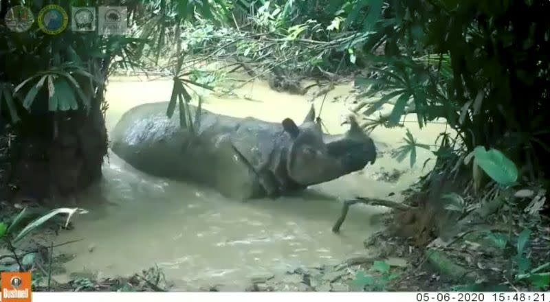 Still image from video of a seven-year-old male Javan rhinoceros enjoying a mud bath in Ujung Kulon National Park in Banten, Indonesia