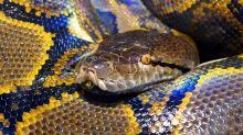Woman found dead with 8-foot python wrapped around her neck in house with 140 snakes