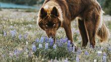 Dieser Hund wird regelmäßig mit einem Wolf verwechselt