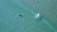 Drone footage shows sharks getting dangerously close to humans
