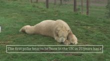 First polar bear born in UK in 25 years moved to new home