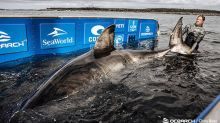 17-foot white shark caught off Nova Scotia declared a 3,541-pound 'Queen of the Ocean'