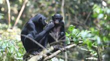 Como as mães dos bonobos ajudam seus filhos a encontrar o amor