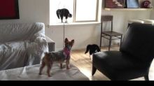 Cats totally freak out after meeting playful Yorkie