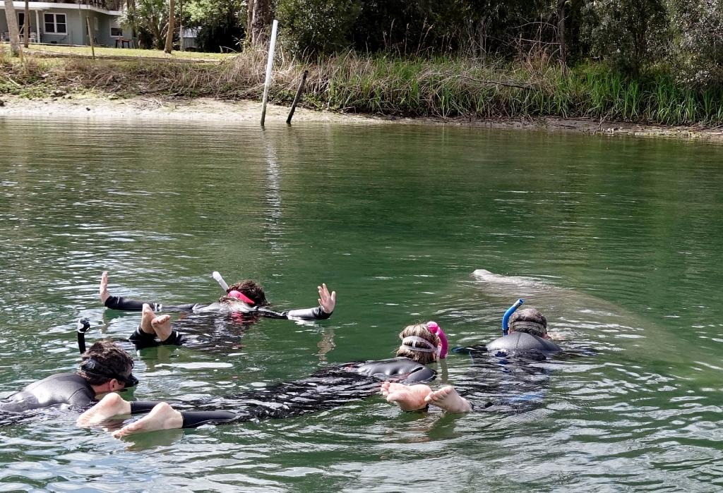Tourists swim near an endangered manatee, which is rising to the surface for a sip of air, in Crystal River, Florida (AFP Photo/Kerry Sheridan)