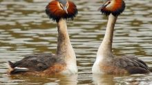 ES Views: Wild London: Crested grebes are a wonder to behold