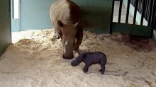 Baby Rhino Takes First Steps at Australia Zoo