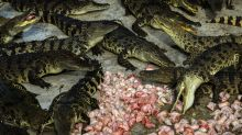 Indonesian Mob Slaughters 'Hundreds' of Crocodiles in Revenge Attack