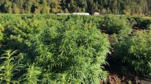 Harvest Underway at Marijuana Company of America's CBD Hemp Operation in Scio, Oregon