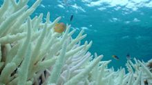 Climate Change Drives Collapse Of Baby Corals In Great Barrier Reef