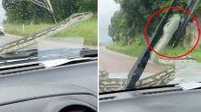Couple slammed for 'cruel' reaction to python crawling across windscreen