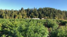 Harvest Underway at Marijuana Company of America's CBD Hemp Operation in Scio, Oregon