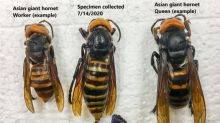 'Murder hornets' trapped in US for first time as officials race to eradicate colonies before breeding season