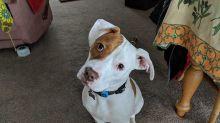 Após ser abandonado cinco vezes, cãozinho surdo encontra novo lar e aprende linguagem de sinais