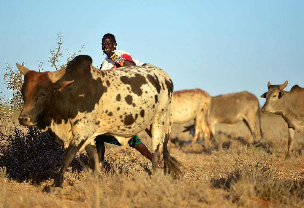 As pastoralist populations in Kenya have grown so have their herds, grazing sparse pasture into desert (AFP Photo/TONY KARUMBA)
