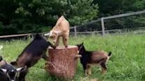 Goat Babies Play King of the Stump