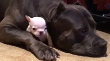 Protective dog adorably cuddles this tiny puppy