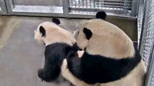 Pandas in Dutch zoo finally have sex after three years, boosting hopes for a cub