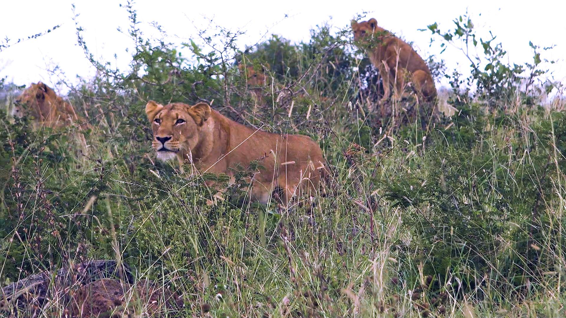 A Pride of Lions Killed and Ate a Group of Rhino Poachers Who Broke Into a Wildlife Reserve