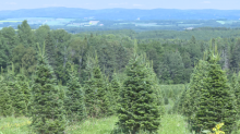 N.B. Christmas tree farmers say it's 'impossible' to find workers