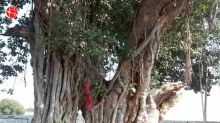 Insights of the Bargad tree and its beneficial importance