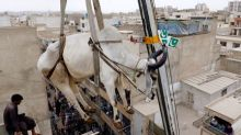 Karachi's rooftop cattle get a crane lift to the ground