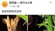 竹市出現山羌 一個月內兩次一落網一在逃