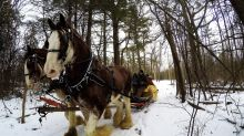 Clydesdales take family on unforgettable sleigh ride through the woods