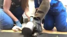 Animal Workers Free Young Racoon With Soup Can Stuck on its Head