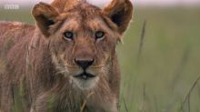 'Dynasties': Crew break the rules by trying to save poisoned lion cub