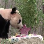 Panda Bei Bei enjoys farewell treats